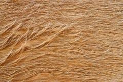 Textura da pele da vaca (pele) fotos de stock royalty free