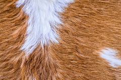 Textura da pele da vaca (pele) imagens de stock royalty free