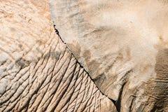 Textura da pele do elefante Foto de Stock Royalty Free