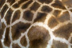 Textura da pele do girafa que consiste em pontos marrons fotos de stock