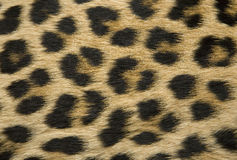 Textura da pele do leopardo Fotos de Stock