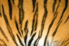 Textura da pele do tigre Fotos de Stock Royalty Free