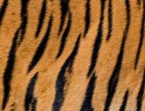 Textura da pele do tigre de Bengal Imagem de Stock Royalty Free