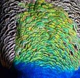 Textura da pena do pavão Imagens de Stock