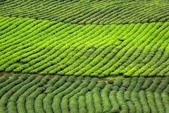 Textura da plantação de chá verde fotografia de stock royalty free