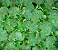 Textura da planta de Cucumer O verde deixa a textura Foto de Stock Royalty Free
