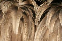 Textura da plumagem da avestruz Imagens de Stock Royalty Free