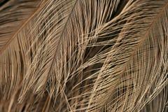 Textura da plumagem da avestruz Foto de Stock Royalty Free