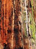 Textura da sequoia vermelha foto de stock royalty free