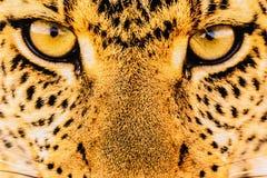 A textura da tela ascendente da cópia do fim listra o leopardo Imagens de Stock Royalty Free