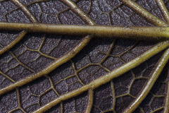 Textura da veia da folha Fotografia de Stock