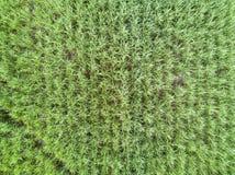 Textura da vista aérea do campo do cana-de-açúcar imagens de stock royalty free
