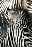 Textura da zebra Imagem de Stock Royalty Free