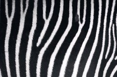 Textura da zebra Fotos de Stock Royalty Free