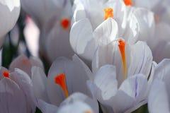 Textura das flores Imagem de Stock