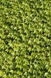 Textura das folhas Fotografia de Stock Royalty Free