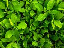 Textura das folhas Imagens de Stock