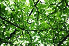 Textura das folhas Imagens de Stock Royalty Free