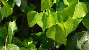 Textura das folhas video estoque