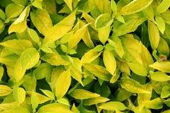 Textura das folhas amarelas do arbusto Imagens de Stock Royalty Free