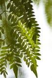 Textura das folhas da acácia. Imagem de Stock Royalty Free