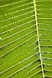 Textura das folhas da acácia. Imagens de Stock Royalty Free