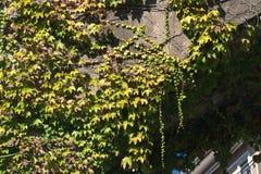 Textura das folhas da hera em uma parede de pedra, conceito de cidades velhas, casas, constru??es, vegeta??o no concreto, lugar p foto de stock