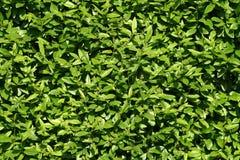 Textura das folhas do arbusto Imagem de Stock