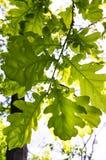 Textura das folhas do carvalho sob a luz solar imagens de stock