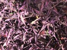 Textura das folhas pequenas brilhantes frescas exóticas originais roxas coloridas bonitas das plantas, arbustos em Egito O fundo fotos de stock
