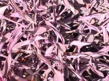 Textura das folhas pequenas brilhantes frescas raras exóticas originais roxas coloridas bonitas de uma planta, arbusto em Egito O imagens de stock