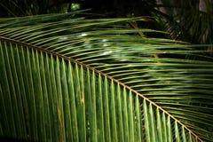 Textura das frondas da palma Fotos de Stock