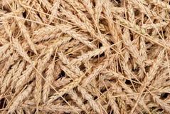 Textura das orelhas do trigo Imagens de Stock Royalty Free