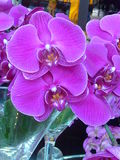 Textura das pétalas da orquídea Foto de Stock