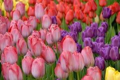 Textura das tulipas Foto de Stock