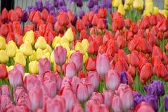 Textura das tulipas Fotos de Stock