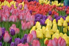 Textura das tulipas Fotos de Stock Royalty Free
