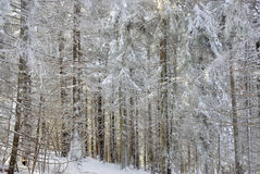 Textura de árvores nevadas Foto de Stock Royalty Free