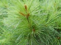 Textura de agulhas verdes frescas do pinho, uma linha das agulhas, um tema do Natal Foto de Stock