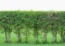 Textura de bambu do blackground Imagens de Stock Royalty Free