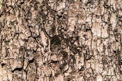Textura de /bark del fondo del árbol Imágenes de archivo libres de regalías