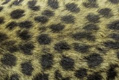 Textura de couro da chita foto de stock