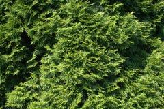 Textura de Cypress Foto de Stock
