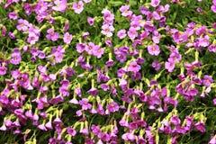 Textura de flores rosadas en el jardín Imagen de archivo libre de regalías
