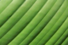 Textura de hoja de palma Fotografía de archivo