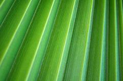 Textura de hoja de palma fotos de archivo libres de regalías