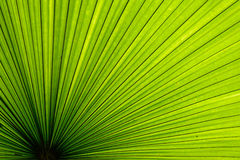 Textura de hoja de palma Foto de archivo