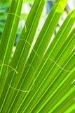Textura de hoja de palma hermosa Fotografía de archivo