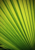 Textura de hoja de palma verde Imagen de archivo