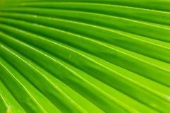 Textura de hoja de palma verde Imágenes de archivo libres de regalías